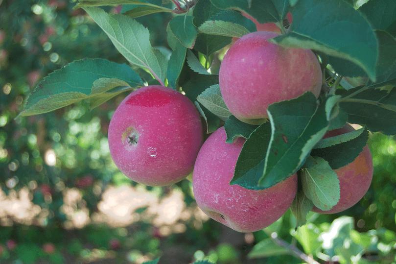 Autumn adventures: apple picking!- Sara Laughed(1)